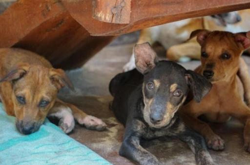 Protection et soins des chiens du refuge de l'île du Paradis à Aluthgama au Sri Lanka
